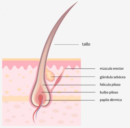 Bulbo o raiz del cabello